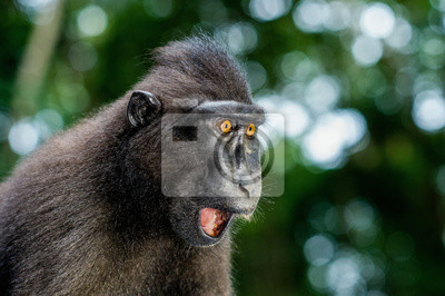 Fototapeta The Celebes crested macaque with open mouth. Crested black macaque, Sulawesi crested macaque, or the black ape. Natural habitat. Sulawesi Island. Indonesia.