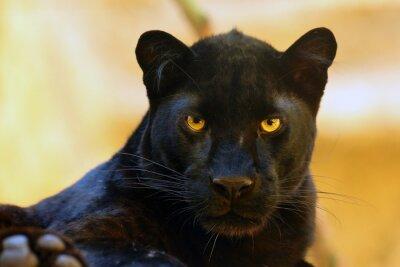 Fototapeta The leopard (Panthera pardus) portrait. Melanistic leopards are also called black panthers.