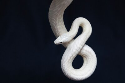 Fototapeta The Texas rat snake (Elaphe obsoleta lindheimeri ) is a subspecies of rat snake, a nonvenomous colubrid found in the United States, primarily within the state of Texas.