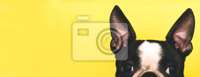 Fototapeta The top of the dog's head with large black ears Boston Terrier breed on a yellow background. Creative. Banner
