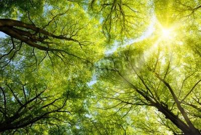 Fototapeta The warm spring sun shining through the canopy of tall beech trees