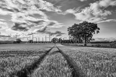 Fototapeta The young shoots of grain on the background of the blue sky, Scotland, Livingstone B&W