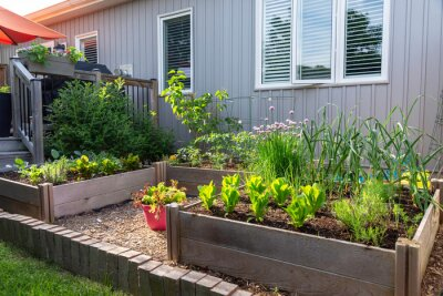 Fototapeta This small urban backyard garden contains square raised planting beds for growing vegetables and herbs throughout the summer.  Brick edging is used to keep grass out, and mulch helps keep weeds down.