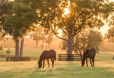 Fototapeta Thoroughbred roczniaki na pastwisko na zachodzie słońca