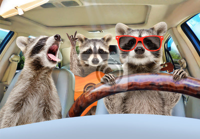Fototapeta Three funny raccoon with a guitar ride in the car