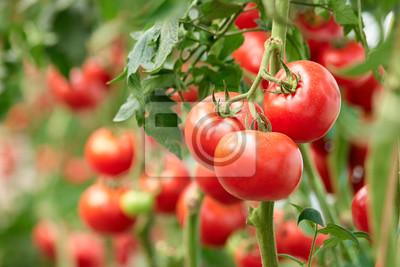 Fototapeta Three ripe tomatoes on green branch. Home grown tomato vegetables growing on vine in greenhouse. Autumn vegetable harvest on organic farm.