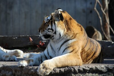 Fototapeta Tieger w zoo