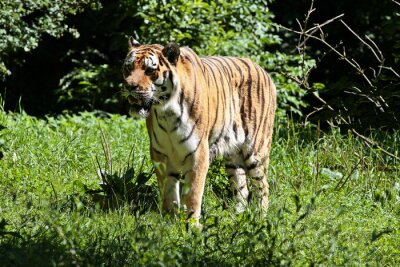 Fototapeta Tiger - Panthera tigris