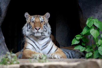 Fototapeta Tiger patrząc.