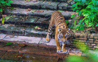 Fototapeta Tiger w pobliżu wody
