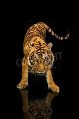 Fototapeta Tiger walking czarne tło