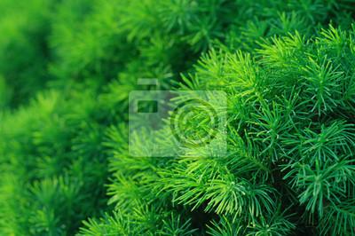 Tło drzewa iglaste