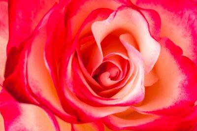 Fototapeta tło z róż