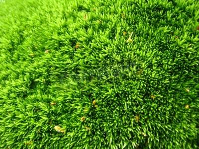 Fototapeta tło zielone mokrym mchu w lesie