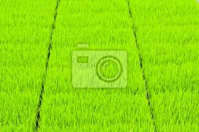 tło zielone piękne pola ryżu w Azji