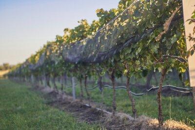Fototapeta Toma en contra picada de una fila de viñedo en perspectiva.
