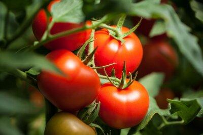 Fototapeta Tomatoes –