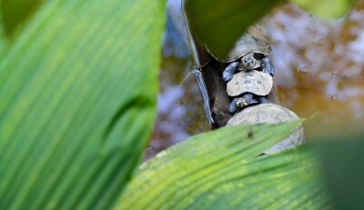 Fototapeta Tortugas en fila cruzando un lago al aire libre
