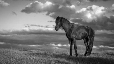 Fototapeta Trakehner Black Stallion