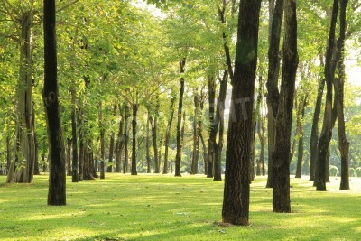 Fototapeta Trees and green grass in the park