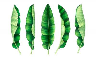 Tropical banana leaves set. Watercolor illustration.