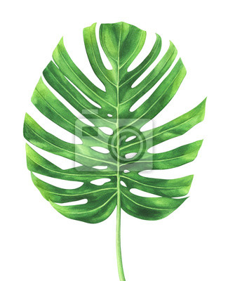 Tropical leaf of Monstera plant isolated on white background.