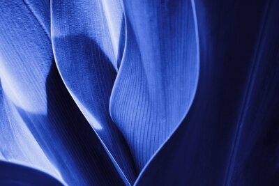 Fototapeta Tropical plant close-up in blue tinted. Abstract natural Vegetable delicate background. Selective focus, macro. Flowing lines of leavesSelective focus, macro. Flowing lines of leaves