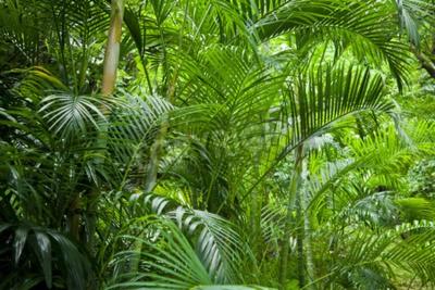 Fototapeta Tropikalna bujne zielone palmy dżungli tle