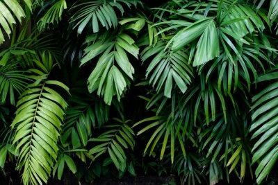 Fototapeta Tropikalna dżungli natury zieleni palma opuszcza na ciemnym tle w ogródzie