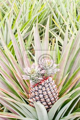 Tropikalny owoc polu ananasowym