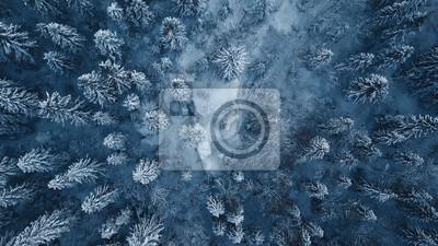 Fototapeta Truteń fotografia śnieg zakrywał wiecznozielonych drzewa po zimy miecielicy w Lithuania.