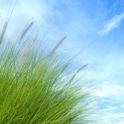 Fototapeta trzciny trawy