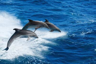 Fototapeta Trzy delfiny