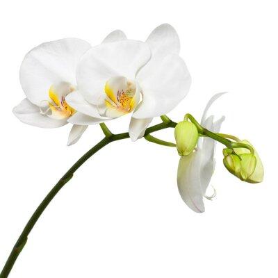 Fototapeta Trzy dni stara biała orchidea na białym tle.