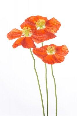 Fototapeta Trzy kwiaty maku