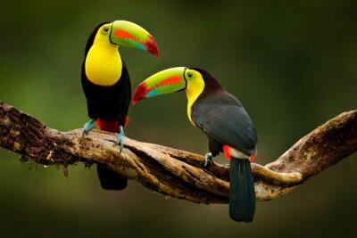 Fototapeta Tukan siedzący na gałęzi w lesie, zielona roślinność, Kostaryka. Podróże przyrodnicze w Ameryce Środkowej. Dwa tukany kilowe, Ramphastos sulfuratus, para ptaków z dużym rachunkiem. Dzikiej przyrody.