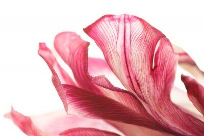Fototapeta tulipan