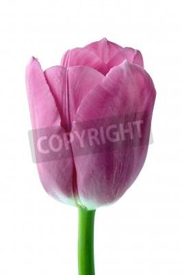 Fototapeta Tulipan kwiaty na białym tle