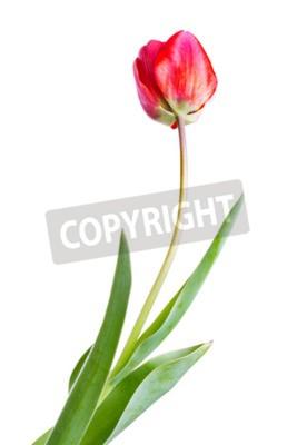 Fototapeta tulipan na białym tle