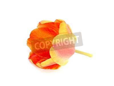 Fototapeta tulipan pomarańczowy na białym tle