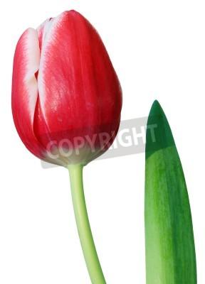 Fototapeta Tulipan wyizolowanych na białym tle