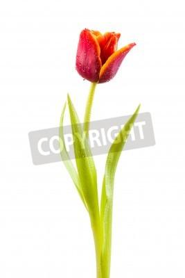Fototapeta Tulipan z kropli wody na białym tle