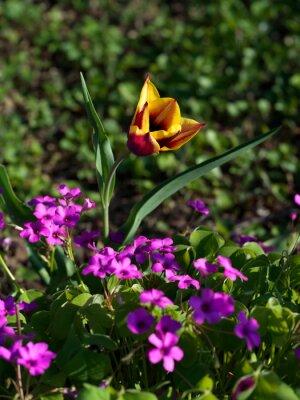 Fototapeta Tulipano arancio tra il verde e altri fiori