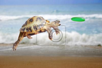 Fototapeta Turtle skacze i łapie frisbee
