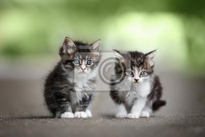 Fototapeta two adorable tabby kittens posing on the road