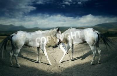 Fototapeta Two beautiful white horses moving in outside scenic background