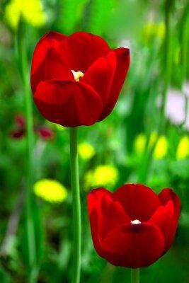 Fototapeta Two poppy among green grass