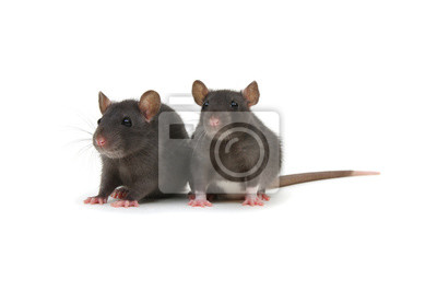 Two rats on white