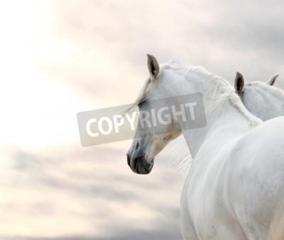 Fototapeta two white horses at weather day
