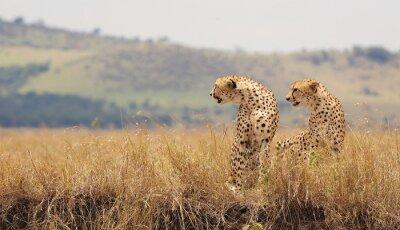 Fototapeta Two Wild cheetahs in Kenya